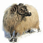 navajo-churro sheep